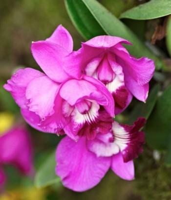 Laeliocattleya Love Knot är en modern japansk Cattleya-hybrid avsedd för hemmaodling.