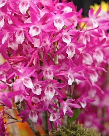 Dendrobium Rainbow Dance 'Akazukinchan' är en modern orkidéhybrid avsedd för hemmiljö som under bra förhållanden blommar i stora klasar. Framtagen i Japan.