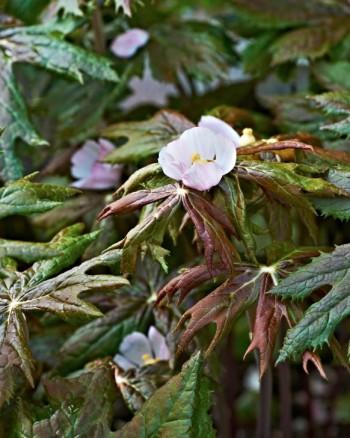 Indiskt fotblad, Podophyllum hexandrum