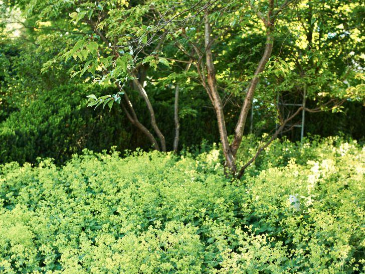 Bergkörsbär, Prunus sargentii och jättedaggkåpa, Alchemilla mollis.