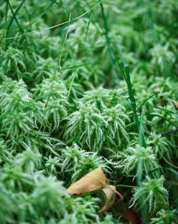 Vanlig svensk vitmossa passar både i odlingssubstrat och som naturmedicin för krassliga orkidéer. Namnet syftar på att den vitnar när den blir torr. Ska inte blandas ihop med med den luftigare björnmossan eller vita lavar.