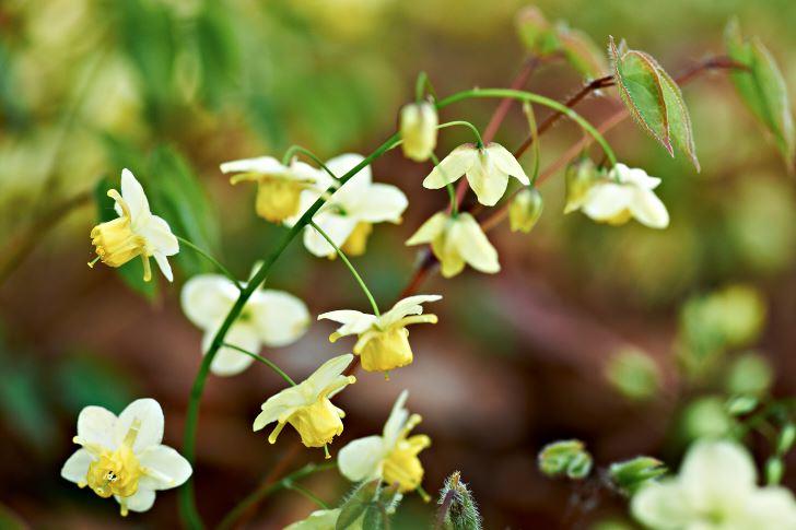 Blekgul sockblomma, Epimedium × versicolor