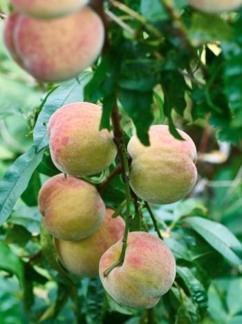Persika, Prunus persica 'Redhaven'