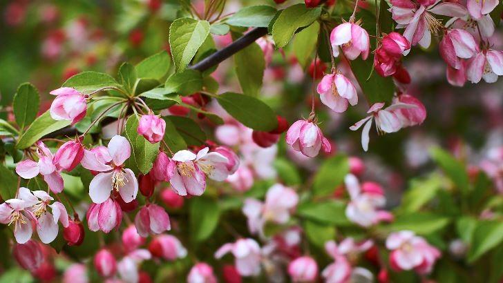Rosenapel, Malus floribunda