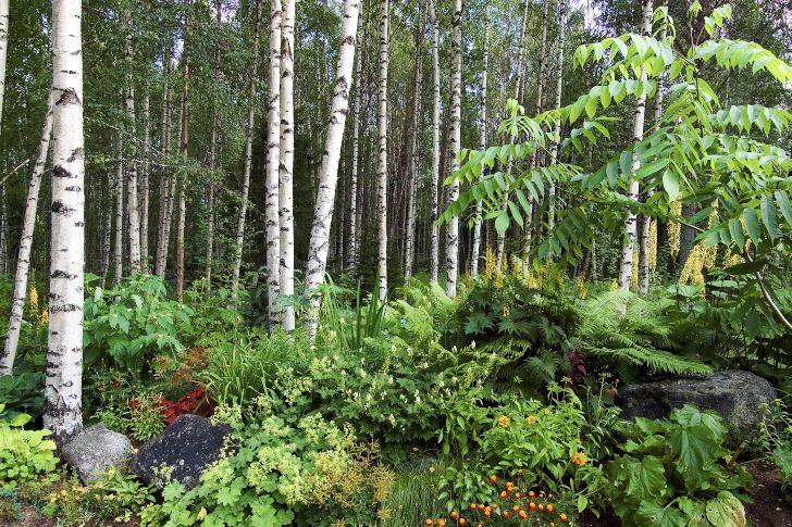I den kanske vackraste delen av trädgården bildar höga vita pelare av björk fond till planteringen med en ljuvlig blandning med bland annat perenna spirstånds, gullstav, jättedaggkåpa, strutbräken och trädgårdsiris samt ettåriga tagetes och sommarrudbeckior. Till höger skymtar den manchuriska valnötens exotiska bladverk.