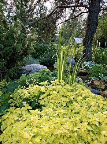 I Cathrines woodland växer limegul rosenplister, Lamium maculatum 'Aureum' i skön förening med jättedaggkåpa, Alchemilla mollis och brokbladig silveriris, Iris pallida 'Variegata'.
