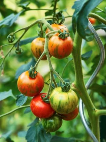 Grönsaker i uterummet är inte bara gott utan kan också ren prydnad. De zebrarandiga tomaterna ringlar sig upp genom vackra stöd hemma hos Torsten och Runa Walderö, Kungsängen.