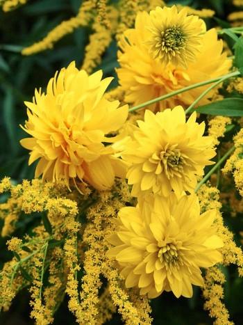 Kombination av gult som passar utmärkt även för den som inte rensar och står i. Gullboll tillsammans med gullris. Båda växterna klarar sig utan skötsel och blommar länge.