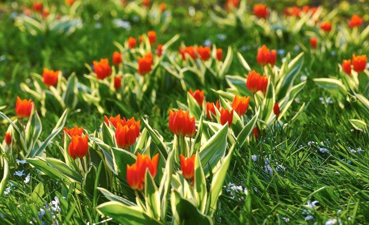 En slående skönhet som dessutom visat sig klara av livet i en gräsmatta är anemontulpan, Tulipa praestans. Den blommar varmt röd, är tidig, låg och överlever flera år i Mellansverige. Desssutom har sorten 'Unicum' smakfullt variegerat bladverk.
