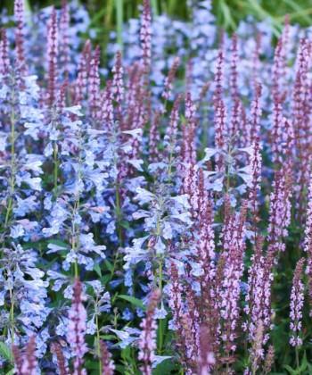 Häftiga tillsammans men ändå väl anpassade till återhållna miljöer är stäppsalvia 'Amethyst' och kashmirnepeta, Nepeta clarkei. Båda växterna finns i många olika arter, sorter och färger.