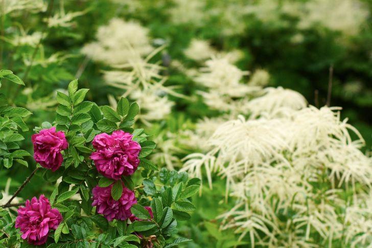 Vill du ha rosor skaffa storvuxna, gammaldags sorter. En som både blommar om några gånger varje säsong, doftar gott och är nästan obegripligt härdig är sorten 'Hansa'. Blir en ganska omfattande buske men kan beskäras hur hårt som helst. I bakgrunden skymtar några plymspireor.