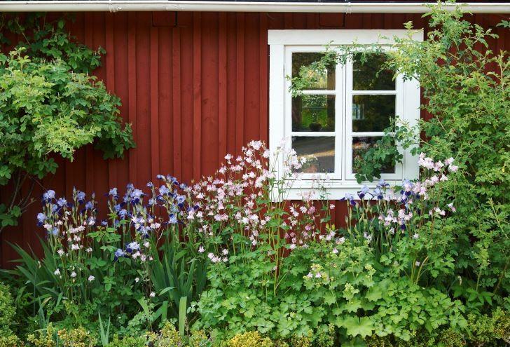 Att påstå att vackra aklejor och iris vid en röd stuga är hemtrevligt är en underdrift. Bild från Kenneth Hallbergs och Claes Johanssons månghundraåriga hus i norra Skåne.