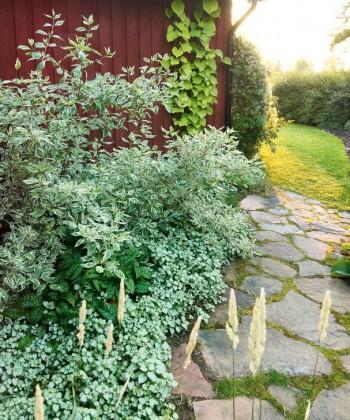 På den skuggiga baksidan trivs bladväxterna rosenplister, Lamium maculatum, följt av broklungört Pulmonaria saccharata, under en vitbrokig kornell Cornus alba 'Variegata'. Bild från Maud och Göran Perssons hem i Hälsingland.