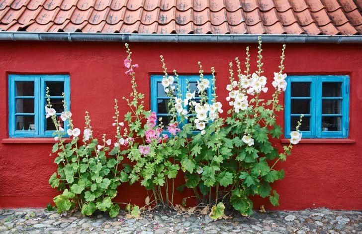 Stockrosorna passar hundraprocentigt bra mot den typiska husfasaden i den gamla delen av Ringkøbing på Jylland. Det skulle lika gärna kunna vara Skåne. Längre norrut i landet är stockrosor på sin höjd tvååriga.