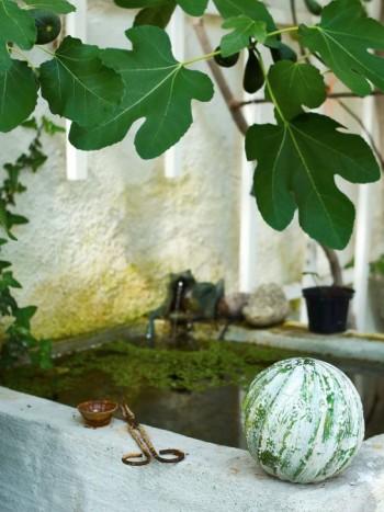 Ovanför vattenkaret breder fikonbusken ut sina välskapta blad. I den här delen av orangeriet får det härdiga bornholmsfikonet gott om frukter från midsommar fram till tidig höst.