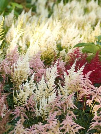 D2X_7175, D2X_7182: Astilbe används för sällan i våra trädgårdar. De trivs där det är fuktigt och lite skuggigt. Blommar under semestertider, har snygga bladverk som täcker marken och färgrika blommor som lyser upp tillvaron. På bilden sorterna 'Rotlicht', 'Irrlicht' och 'Bressingham Beauty'.