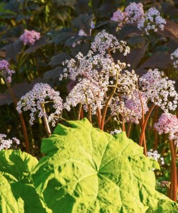 Elegans för skuggan. Parasollblad, Astilboides tabularis, med bronsrodgersia, Rodgersia podophylla, bakom. De exceptionella blommorna tillhör sköldbräcka, Darmera peltata, som längre fram på säsongen får ståtliga blad.