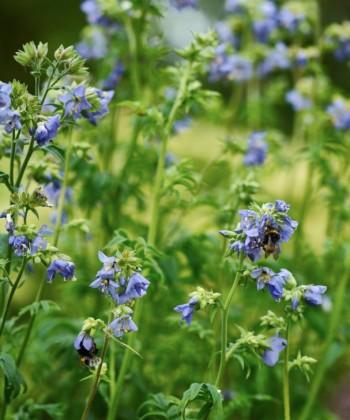 Traditionella växter som blågull har förmåga att samla till sig bin och humlor. De små liven får mat till drottningen och bibarnen, växterna pollineras och vi får njuta av naturens ljud och rörelser.