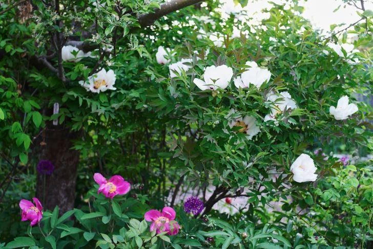 Buskpioner i full blom nästan klättrar upp i ett av äppelträden. De växer långsamt och har kort blomningstid, men är å den andra sidan vackra både i bladutspring, bladverk och frökapslar. Dessutom är de tåliga och härdiga till i alla fall zon 4.