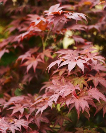 Japansk lönn, Acer palmatum, 'Atropurpureum'