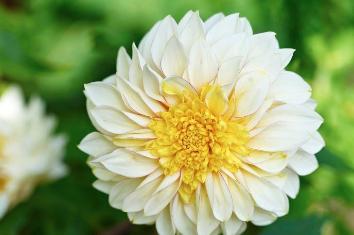Anpassad till både kruka och rabatt är också den rikblommande anemondahlian 'Polka'. Höjd 40–50 cm.