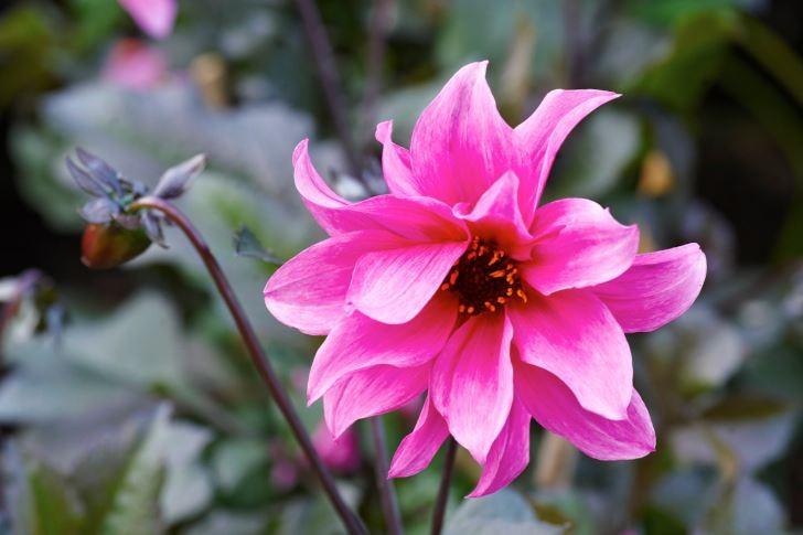 Bronsfärgade blad som matchar blommorna har dekorativdahlian 'Fascination'. Ungefär 60 cm hög och lämplig både i rabatt och kruka.