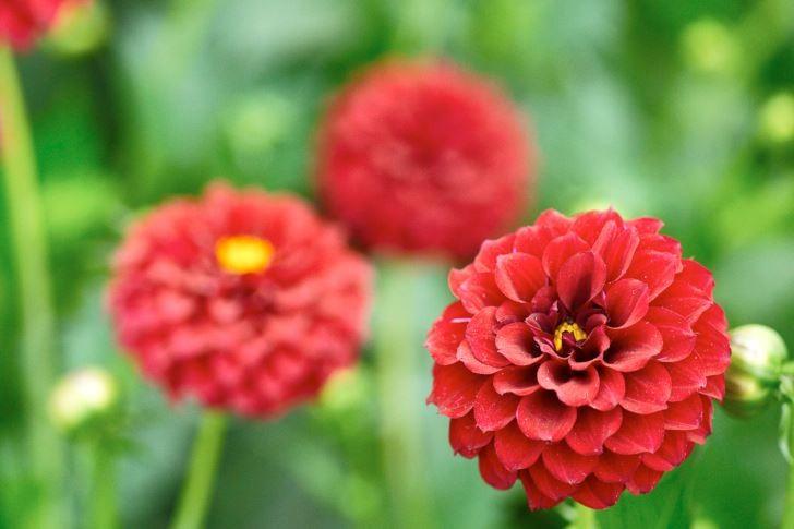 Pompondahlior har ett typiskt utseende som associerar väl med namnet. En god representant är den röda 'Tam Tam'. Blir 100 cm eller högre.
