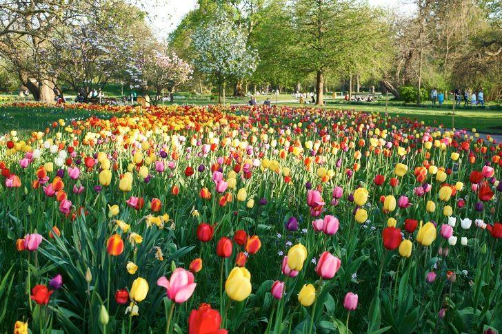 Precis lagom till valborgsmässofirandet blommar blandade tulpaner i mängder på Lunds botaniska trädgård.