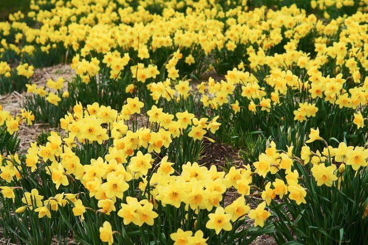 Narcisser är tåliga växter som lyser upp vårarna och ogillas av rådjur.