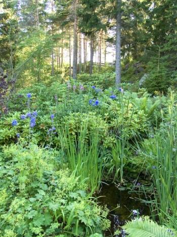 Vid ett av de många vattenhålen som finns i trädgården syns riddarsporrar, strutbräken och rododendron försvinna in i barrskogen. I förgrunden syns svärdslilja, Iris pseudacorus, och blommande jättedaggkåpa, Alchemilla mollis.