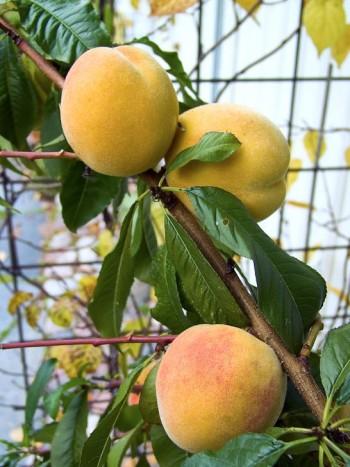 Persikorna hänger så ludna och fina på familjen Wåhlins frodiga och friska persikoträd, Prunus persica 'Anna-Helena'. En sort som annars ofta brukar drabbas av krussjuka och har svårt att hinna mogna i tockholmstrakten. Den nya sorten 'Frost', härdig till zon 3, är mer motståndskraftig mot krussjuka och mognar tidigare.