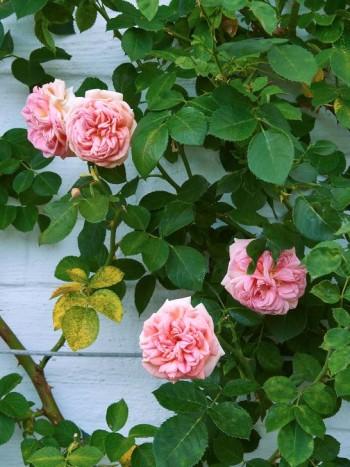 Okej, rosor är inte perenner, men läckra klätterrosor passar mot de flesta neutrala väggar. Här den ganska känsliga sorten 'Alchymist', som skiftar i gult och rosa, mot en vitgjord tegelvägg hemma hos Kjerstin och Lars-Erik Borg i Linköping.