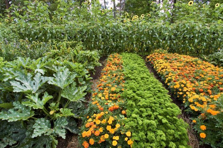 På Wij trädgårdar i Ockelbo har man skapat exempel på välskötta köksträdgårdar. Ett vackert, traditionellt och utrymmessnålt sätt att odla. I växtbäddarna blandas nyttoväxter med prydnadsväxter. I bakgrunden ett buskage av solrosor, i förgrunden bland annat squash, persilja och tagetes.