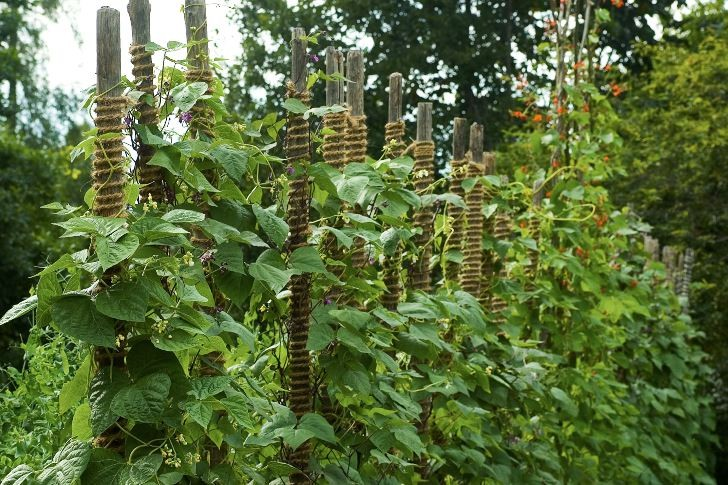 På störar lindade med rep växer humle och blomsterbönor på Wij trädgårdar.