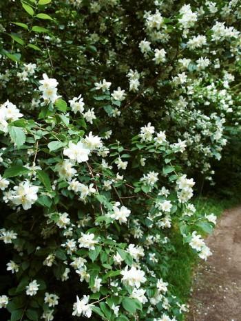 Doftschersmin Philadelphus coronarius. Är en klassisk buske med vackra vita blommor som luktar ack så gott i början av högsommaren. Överlever en bra bit upp efter Norrlandskusten. Undvik avarter, köp sorten 'Finn' om den finns att få tag i.