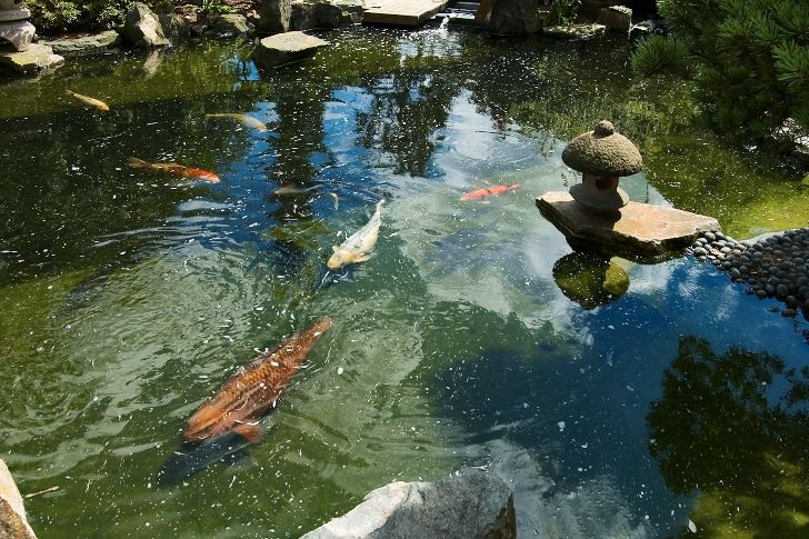 Koikarpar på Skovtroldens planteskole