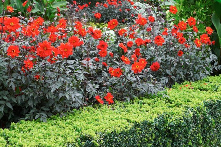 Piondahlian 'Bishop of Llandaff' ingår i Bishops-serien som alla har mörka blad och enkla blommor och blir kring 100 cm höga.