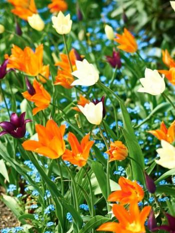 Sprallig färgblandning av tulpaner.