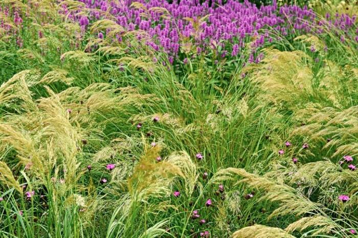 Plym: silvergräs, Achnatherum calamagrostis