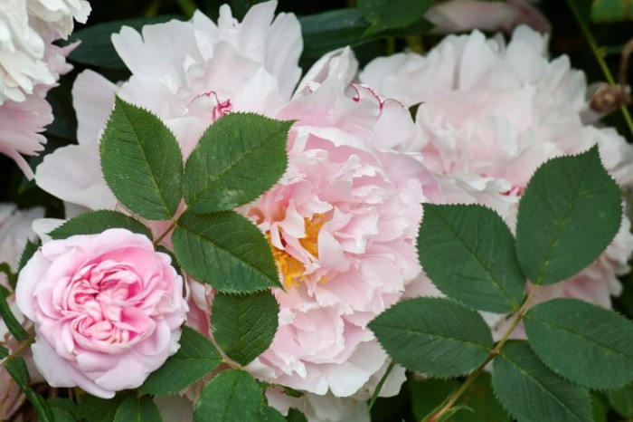 Rosa: luktpion, Paeonia lactiflora