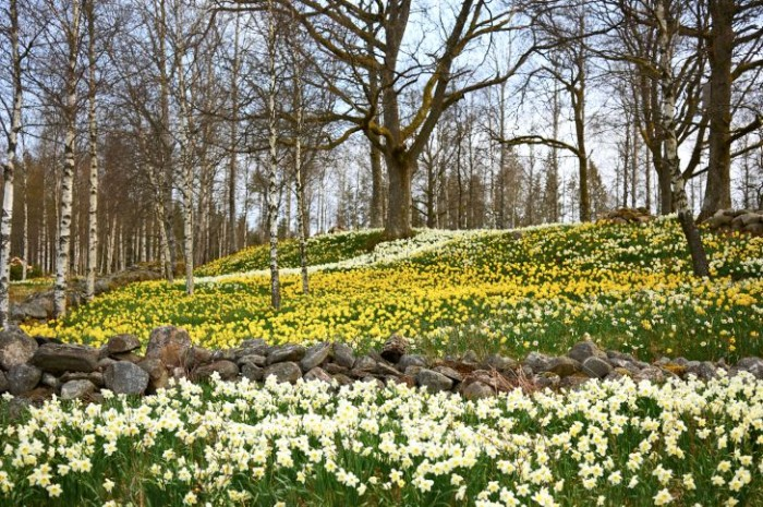 Massplantering av narcisser i småländska Fagerås.