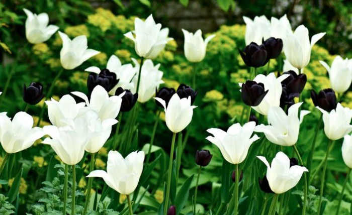 Tulpanerna 'Queen of Night' och 'White Triumphator.