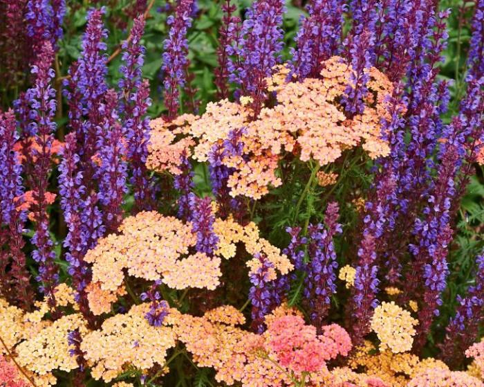 Parasoll: pastellröllika, Achillea 'Lachsschönheit', med stäppsalvia