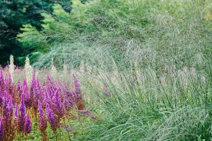 Transparens: jätteåtel, Molinia caerulea ssp. arundinacea, 'Transparent'