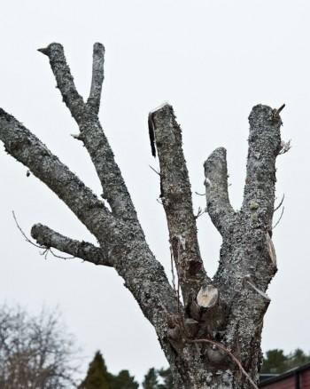 Vad är tanken bakom den här beskärningen?. Beroende på typ av av träd kommer reaktionen vara att sakta dö, skjuta tokmånga skott eller båda.