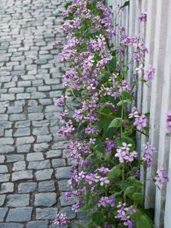 Blå aftonviol matchar gatstenarnas och staketpinnarnas kalla färgskala.