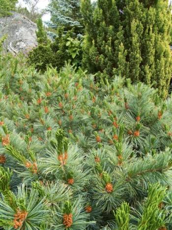 Så här läckert kan barr med barr bli. Ser inte bergtallens, Pinus mugo, långa grågröna barr ännu häftigare ut med cypress och idegran som fond så säg? Idegranen till vänster är en ovanlig sort som heter Taxus baccata 'Amersfoort', långsamväxande med breda vackra barr likt knubbiga små blad.