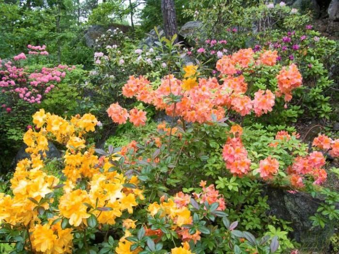 Rododendron- och azaleabuskar bland tallskogens stammar är en bedövande vacker syn. Här frösår och hybridiserar de sig så flitigt att Karin emellanåt är tvungen att rensa bland dem.