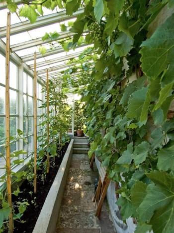 Lilla Toscanas exotiska växthus är placerat mot en mur i norr och något nedsänkt i marken för att man skulle kunna gå raklång utan att bygga muren för hög.