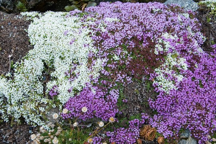 Rosalila och vit backtimjan Thymus serpyllum klär in den karga stenen med sitt sköna flor.
